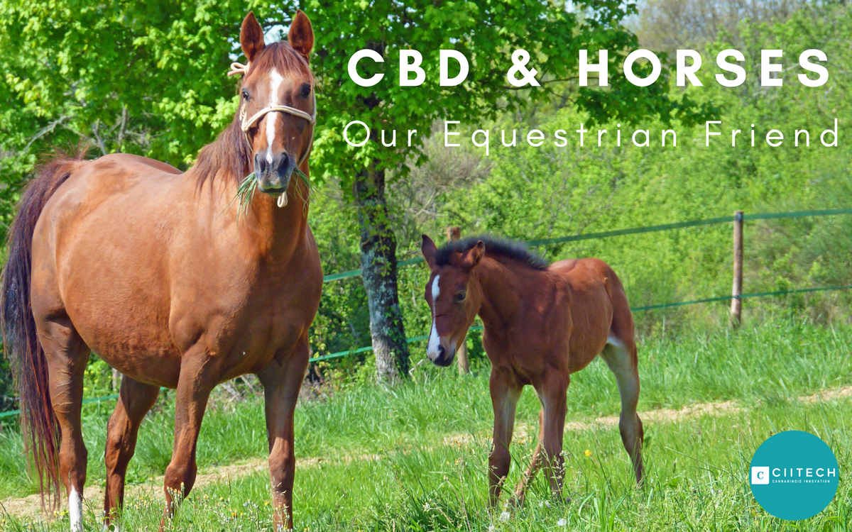 CBD and our Equestrian Friends, Horses