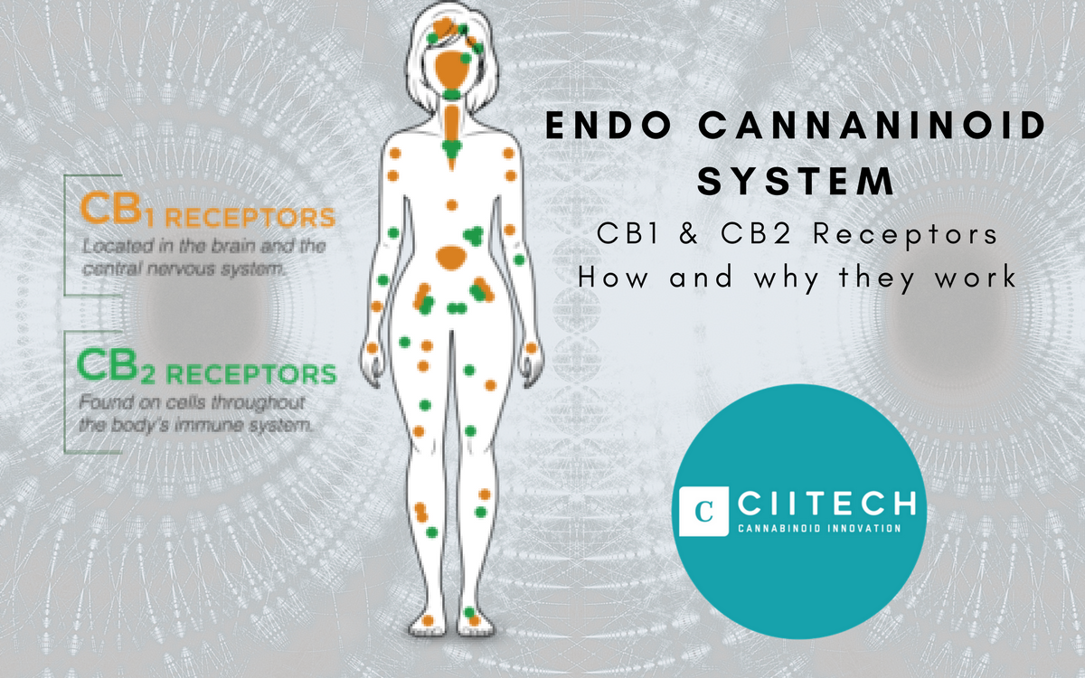 CBD and Your 'Endo-Cannabinoid' System