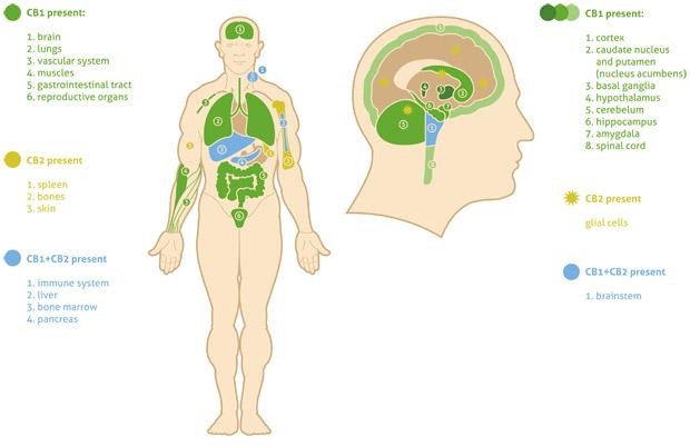 endocannabinoid-system_UK_CBD