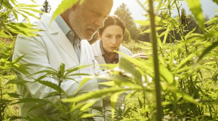 Professional researchers working in a hemp field, they are checking plants, alternative medicine and cannabis concept